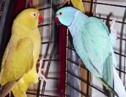 Ожереловые и другие мелкие породы попугаев