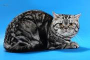 Шотландский скоттиш страйт для вязки вислоухой кошки в Киеве