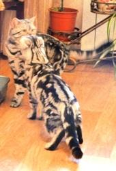 Предлагается кот шотландский прямоухий (страйт) для вязки шотландской