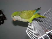 Птенцы для разговора,  попугай Калита - Монах
