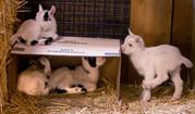 мини овцы,  карликовые антилопы,  карликовые коровы,  лани др.