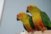 Аратинга Санголд или солнечный - ручные птенцы