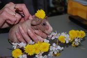 Домашний мини бегемотик - декоративная морская свинка Скинни