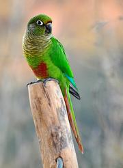 Буроухий папуга Піррура
