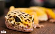 Продаж еублефар або леопардових геконів