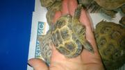 Черепашка, черепаха сухопутна середньоазійська