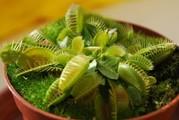 Мухоловка  растение хищник   купить