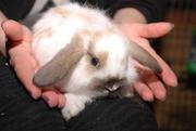 Кролики,  крольчата,  ручные декоративные кролики