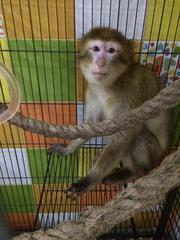 Умная человекообразная обезьяна