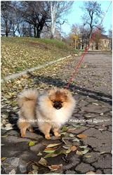 Померанский шпиц щенки-девченка , есть кобель для вязки.Развязан.Донецк