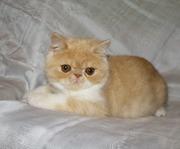 Экзотические короткошерстные котята биколорных окрасов