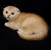 Продам рыжего (красного) тикированного на серебре котенка,  скоттиш фол
