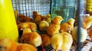 Оптова та роздрібна торгівля птицею: курчата,  качки,  індики