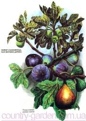 Продам Инжир для выращивание в саду и много других растений.