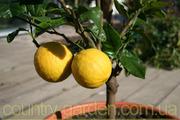 Продам Лимон в горшках,  комнатное растение и много других растений.