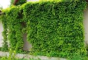 Продам Лимоник Китайский (Лиана) и много других растений.