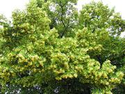 Продам саженцы Липы и много других растений (опт от 1000 грн).