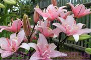 Продам луковицы Лилий и много других растений (опт от 1000 грн).
