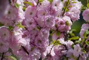 Продам саженцы Луизеании и много других растений (опт от 1000 грн).