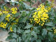 Продам саженцы Магонии Падуболистной и много других растений.