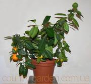 Продам Мандарин в горшках,  комнатное растение и много других растений