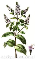 Продам деленки Мяты и много других растений (опт от 1000 грн).