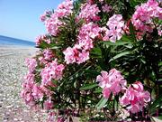 Продам саженцы Олеандра и много других  растений (опт от 1000 грн).