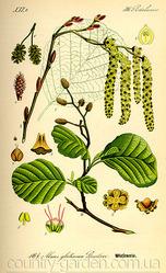 Продам саженцы Ольхи и много других растений (опт от 1000 грн)