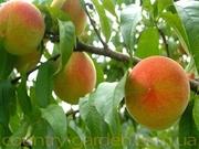 Продам саженцы Персика и много других растений (опт от 1000 грн).