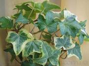Продам вьющиеся растения - Плющ и много других растений.