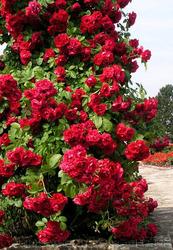Продам саженцы Розы,  в наличии огромное количество сортов.