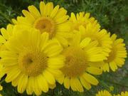 Продам рассаду Ромашки и много других растений (опт от 1000 грн).