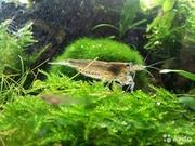 Креветки-неокардины