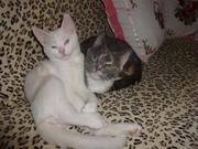 белый котик с документами- голубоглазый
